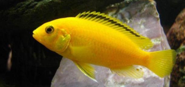 Рисунок 1 - Красивая аквариумная рыбка